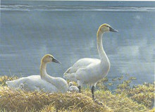 National Fish and Wildlife Stamp Print 1990 Tundra Swans by Robert Bateman Medallion Edition
