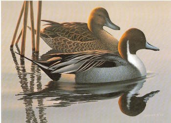 US Federal Duck Stamp Print RW50 (1983-1984)