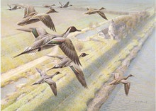 UK Duck Stamp Print 1991 Pintails by Rodger McPhail