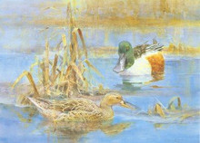 Sweden Duck Stamp Print 1996 Shovelers by Roland Jonsson