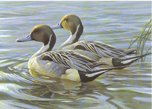 Canada Duck Stamp Print 1988 Pintails by Robert Bateman Medallion Edition