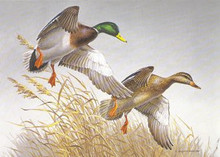 National Fish and Wildlife Stamp Print 1988 Mallards by Maynard Reece Medallion Edition