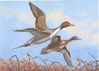 Oklahoma Duck Stamp Print 1980 Pintails by Pat Sawyer