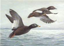North Dakota Duck Stamp Print 1988 White-winged Scoters by Louis Frisino