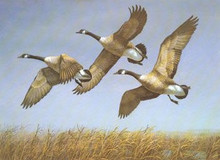 North Dakota Duck Stamp Print 1982 Canada Geese by Richard Plasschaert
