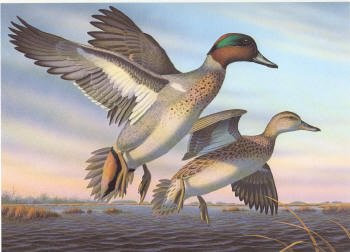 North Carolina Duck Stamp Print 1988 Green-winged Teal by Ronald J. Louque Artist Proof