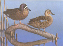 New Hampshire Duck Stamp Print 1985 Blue-winged Teal by Tom Hirata