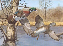 New Hampshire Duck Stamp Print 1983 Wood Ducks by Richard W. Plasschaert
