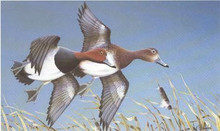 Iowa Duck Stamp Print 1980 Redhead Ducks by Paul Bridgford