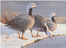 Alaska Duck Stamp Print 1985 Emperor geese by Daniel Smith Medalion Edition