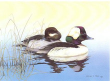 Alabama Duck Stamp Print 1984 Buffleheads by William Morris