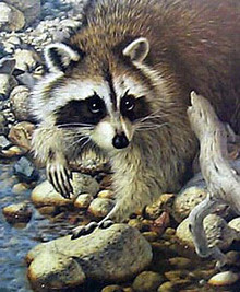 Summer Evening - Raccoon by Jorge Mayol