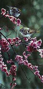 Blossom Dance - Golden Crowned Kinglet by Terry Isaac