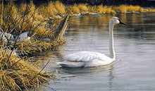 Spring Thaw - Trumpeter Swans by Jim Hautman