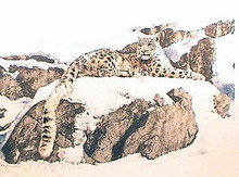 Majestic Solitude - Snow Leopard - Artist Proof by Chris Calle 27.