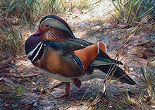 Mandarin Drake Artist Proof by Carl Brenders