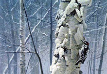 Hairy Woodpecker on Birch by Robert Bateman