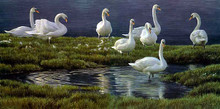 Bank Of Swans- Artist proof by Robert Bateman