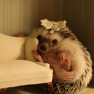 Hi my name is Ginny. I comes from a loving home but not all hedgies are so lucky.