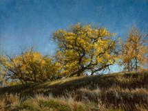Autumn Cottonwoods