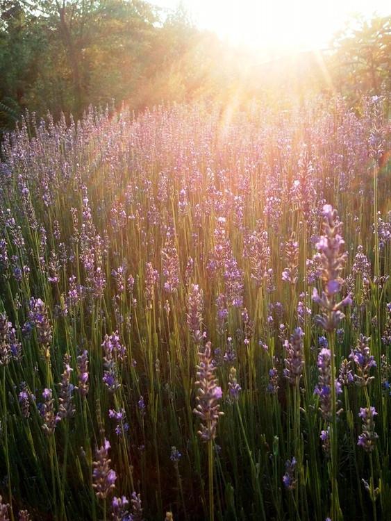 Lavender Buds (Lavandula Angustifolia) - (Loose, Dried)