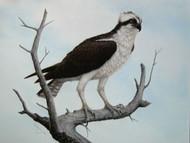 Original Pastel Drawing Osprey