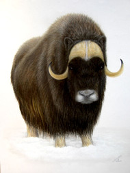 Original Pastel Drawing Musk Ox in Snow