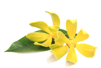 Ylang Ylang Pure Essential Oil