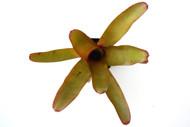 Neoregelia eltoniana hybrid
