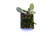 Dresslerella lasiocampa