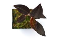 Ludisia discolor (Jewel Orchid)