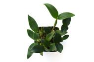Dendrobium 'Micro Chip'