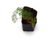 Elaphoglossum peltatum 'Thread Leaf'