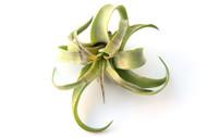 Streptophylla