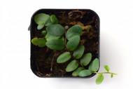 Marcgravia rectiflora