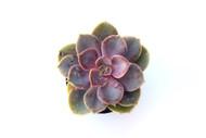 Echeveria 'Perle von Nurenberg'