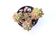 Sedeveria 'Pink Granite'