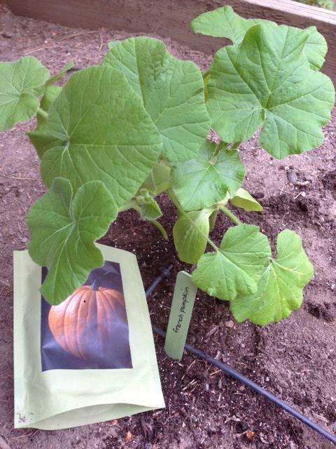 Pumpkin Seed Start