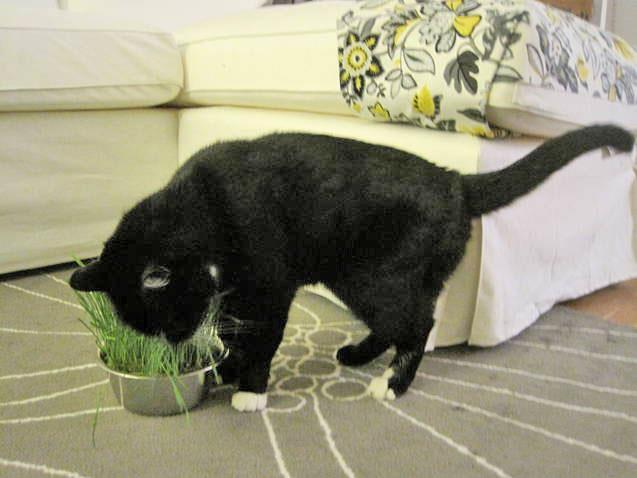 Cat Grass Bowl
