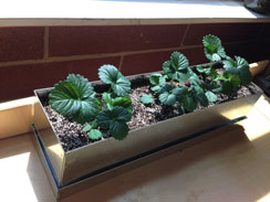 Strawberry Windowbox
