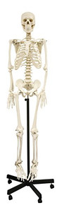 Walter Full Size Human Skeleton