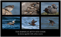 Barnegat Jetty Site Guide