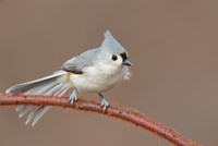 Tufted Titmouse: Expand Canvas Video