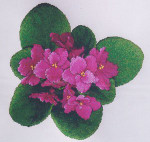 Silver Lining African Violets #3