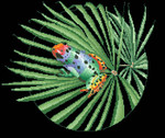16-1104 Rainbow Frog by Vickery Collection