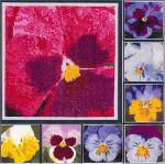 PANSY PORTRAITS (CS) Each flower: 84 x 84 DebBee's Designs