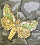 BR415 Barbara Russell Diachrysia Balluca Moth