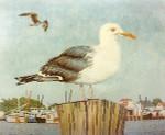Anne Cram B-5 Single Seagull 14 Mesh