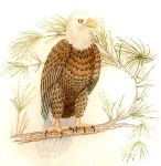 Anne Cram B-31 Bald Eagle 18 Mesh
