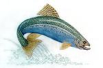 Anne Cram B-50 Landlocked Salmon 14 Mesh